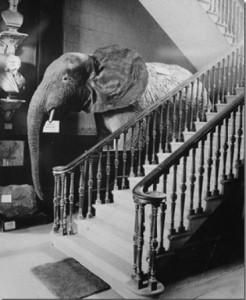 """Lizzie"" was stuffed and stood for sixty years in the foyer of Swansea Museum, where she remained a big favourite. In the 1950's the moths got her and she had to be dumped."